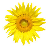 Sunflower with Macro shot isolated Royalty Free Stock Images