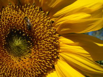 Sunflower in macro style with a bee Royalty Free Stock Images