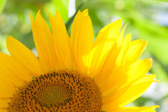Sunflower macro view. Yellow petals flower and soft green background. Sunny day scene concept. Stock Photo