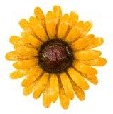 Sunflower Stock Photos