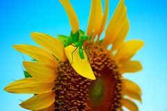 Sunflower with Mantis stock image
