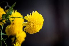 Bright yellow flower blooming royalty free stock photos