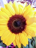 Sunflower married to a bee Royalty Free Stock Photography