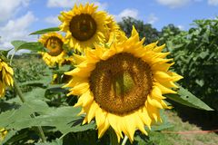 Sunflower Maze at Sweet field farms in Masaryktown, Florida. Stock Image