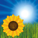 Sunflower on the meadow Royalty Free Stock Photos