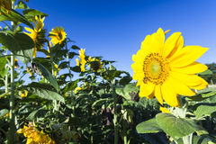 Sunflower on a meadow Royalty Free Stock Photo