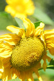 Sunflower at meadow Royalty Free Stock Photos