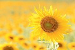 Sunflower  in meadow Royalty Free Stock Images