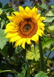 Sunflower on the meadow in summer time Royalty Free Stock Photography