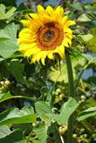 Sunflower on the meadow in summer time Stock Photo