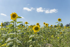 Sunflower on a meadow at a sunny summer day in front of blue sky and clouds Stock Photography
