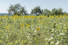Sunflower on a meadow at a sunny summer day in front of blue sky Stock Photography