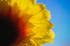 Sunflower meets the sun. In the sky Royalty Free Stock Photos