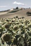 Sunflower melancholy Stock Image