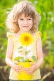 Sunflower in metal bucket Royalty Free Stock Image
