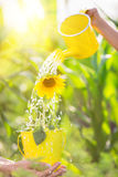 Sunflower in metal bucket Stock Images