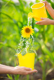 Sunflower in metal bucket Stock Photos