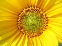 Sunflower Middle. A closeup view of a sunflower royalty free stock photos