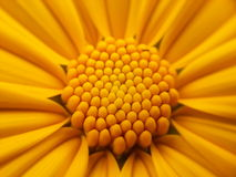 Sunflower. A middle of an  Asian sunflower Royalty Free Stock Image