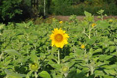 Sunflower in the middle. A sunflower in a field of sunflowers stock image