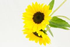 Sunflower mirror Stock Photo