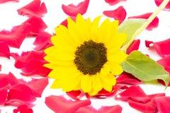 Sunflower mirror 2 Royalty Free Stock Photo