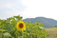 Sunflower at the mointain Royalty Free Stock Images