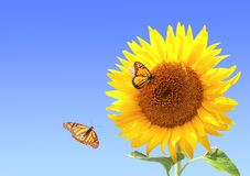 Sunflower and monarch butterflies on blue sky background Royalty Free Stock Image