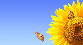 Sunflower and monarch butterflies on blue sky background Stock Photo
