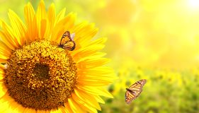 Sunflower and monarch butterflies on blurred sunny background Stock Photo