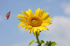 Sunflower with Monarch Butterfly. Bright Sunflower with Monarch Butterfly royalty free stock photography