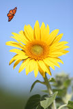 Sunflower with Monarch Butterfly. Bright Sunflower with Monarch Butterfly royalty free stock images