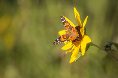 Sunflower and Monarch Butterfly. Landscape photo of a lone sunflower and a Monarch butterfly royalty free stock image