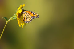 Sunflower and Monarch Butterfly. Landscape photo of a lone sunflower and a Monarch butterfly stock photo