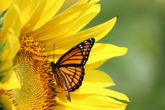 Sunflower and Monarch Stock Image
