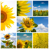 Sunflower montage Royalty Free Stock Photography