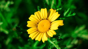 Sunflower from montaza stock images