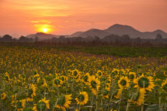 Sunflower in the morning Royalty Free Stock Images