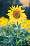 Sunflower by Morning Royalty Free Stock Photos