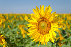 Sunflower in the morning on the sun Royalty Free Stock Image