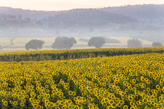 Sunflower in the morning Royalty Free Stock Photo