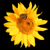 Sunflower and moth Stock Photo