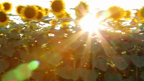 Sunflower in motion stock video footage
