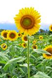 Sunflower with Mountain Backdrop royalty free stock photos