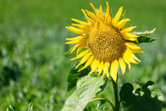 Sunflower. In a mountain fields Stock Photo
