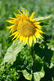 Sunflower. In a mountain fields Stock Photography