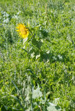 Sunflower. In a mountain fields Stock Images