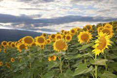 Sunflower Mountain. Sunflower plants in the field Stock Photography