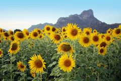 Sunflower with mountain and sky Stock Photography
