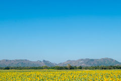 Sunflower and mountain. Are in thailand Royalty Free Stock Image